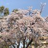 今日は二十四節気の清明の日。色々なお花見シーズン到来です